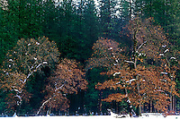 799451354 black oaks quercus kelloggii and fir trees covered in snow during a late fall snowstorm in the valley in yosemite national park in california