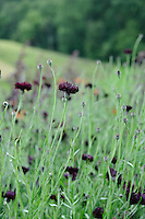 Pictorial Meadow - Volcanic Mix - Cornflower