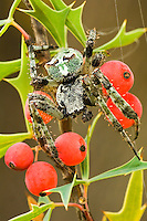 3706000052 a wild humpback orbweaver spider eustala anastera on an agarita plant berberis trifoliata in the texas hill country