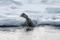 Bearded seal / Erignathus barbatus<br /> Pack ice<br /> Svalbard<br /> Norway