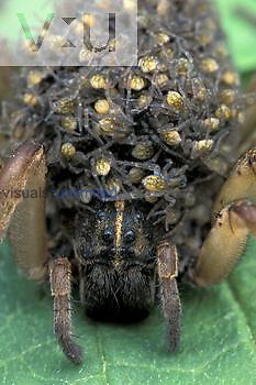 Wolf Spider ,Lycosa, with young spiderlings on its back.