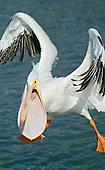American White Pelican (Pelecanus erythrorhynchos).