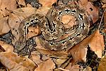 Dumeril's boa, Madagascar