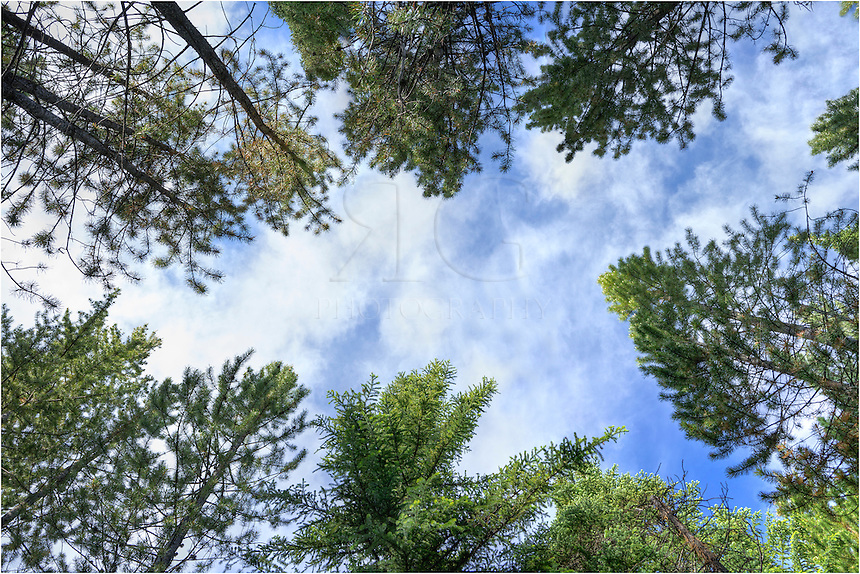 Looking up through the canopy of pine trees in the Rocky Mountains, this is the view when you awaken from a nice afternoon nap along side a stream after spending a morning fly fishing - and then catching a little shut-eye. Gentle white clouds float by in this summer image from Colorado.