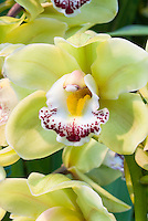 Cymbidium Via Irish-Elf 'Wintergreen' Orchid in yellow green flowers