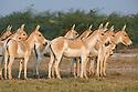 Herd of Indian wild asses (Equus hemionus khur) feeding on salt resistant plants in clay pan, dry season