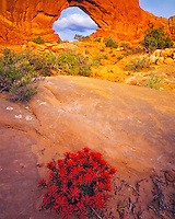 Indian Paintbrush in Spring, North Window, Arches National Park, near Moab, Utah
