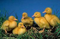 Pekin Ducks - Life Cycle