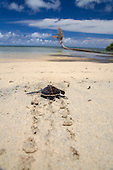 Newly hatched Green Sea Turtle (Chelonia mydas) crawling across beach to the ocean, Yap, Micronesia.