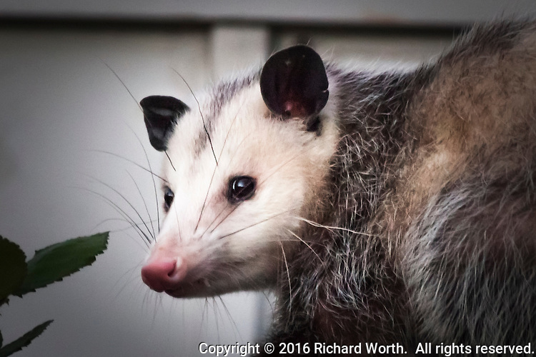 Opossum, close up, along a fence in an urban neighborhood.