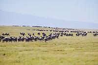 Wildebeest migration, Serengeti National Park, Tanzania, East Africa