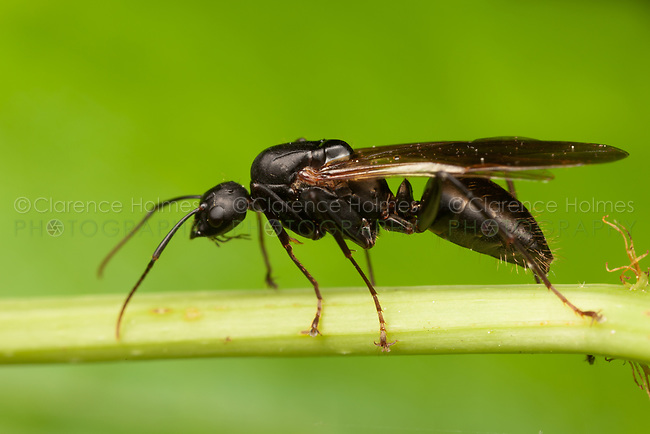 Black Carpenter Ant (Camponotus pennsylvanicus) - Queen, West Harrison, Westchester Coutny, New York