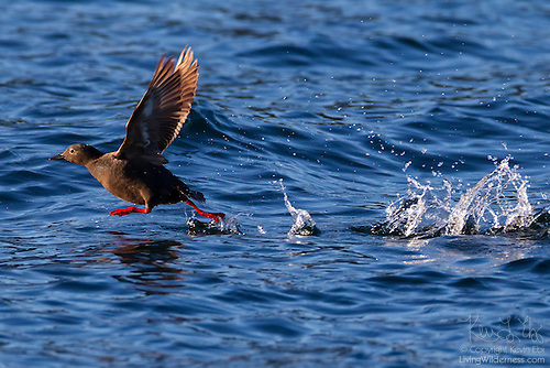 Pigeon Guillemot Running on Water, Discovery Bay, Washington