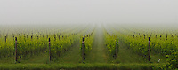 Vines in the fog, Shinn Estate Vineyard, Mattituck, Oregon Road, Long Island, New York North Fork, Panorama