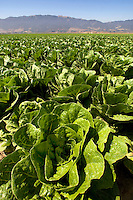 A lettuce Field near Monterey Bay, CA