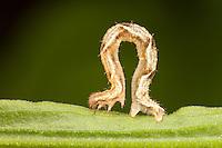 Common Tan Wave Moth (Pleuroprucha insulsaria) caterpillar (larva), West Harrison, Westchester County, New York