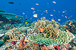 Rainbow Reef, Somosomo Strait, Fiji; a Chevroned Butterflyfish and an aggregation of Scalefin Anthias and  Chromis fish swimming over a coral reef covered with orange, pink and purple soft corals