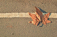 Dried vine leaf on fallen on the street in Hyde Park during winter season.