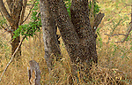 A Leopard is concealed in vegetation at the base of a tree in Kruger National Park, Transvaal, South Africa.