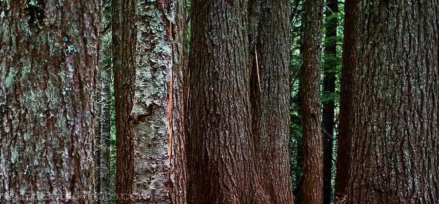 external image doug-fir-tree-truns-pan-EdBook7729.jpg