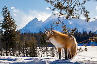 Red Fox, Grand Tetons, Jackson Hole, Wyoming