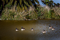 A gaggle of Canada geese floats in an urban park pond near San Francisco Bay.