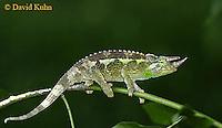 0716-06xx Jackson chameleon - Chamaeleo jacksonii - © David Kuhn/ Dwight Kuhn Photography