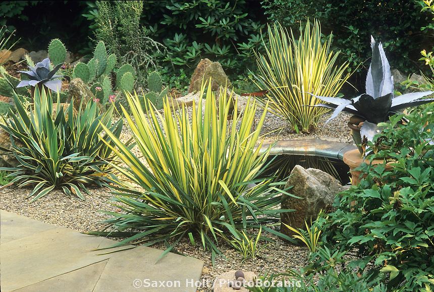 Yucca filamentosa 'Color Guard' and 'Bright Edge' (rear) in Delaware cactus garden