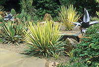 Yucca filamentosa 'Color Guard' and 'Bright Edge' (rear) in Delaware cactus garden