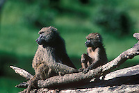 607254006 a wild olive baboon papio anubis mother and her offspring watch their surroundings from atop a fallen log by lake manyara in kenya