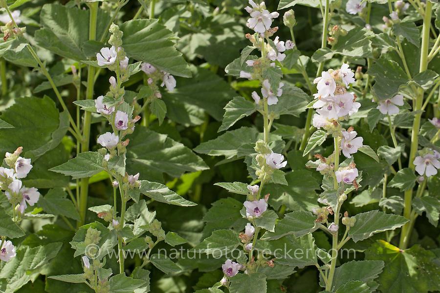 Echter Eibisch, Arznei-Eibisch, Althaea officinalis, marshmallow, marsh-mallow, marsh mallow,  common marshmallow