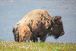 A bison cow and her calf stand on a hill in Yellowstone.