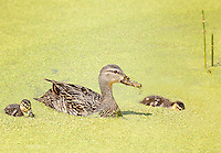 Mottled duck with ducklings feeding in duckweed
