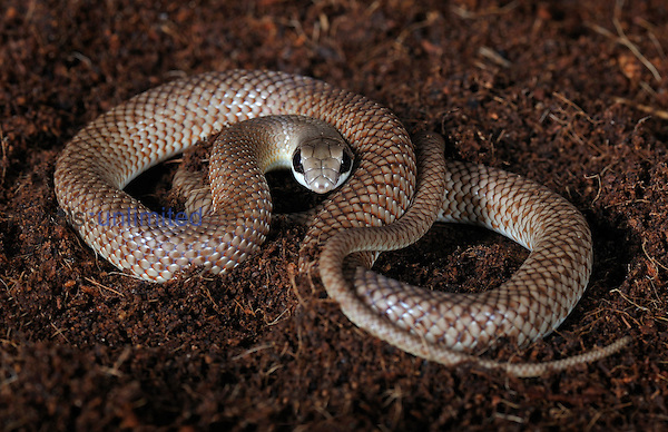Rufous Beaked Snake (Rhamphiophis rostratus), captive.