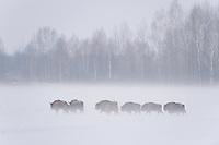 European bison (Bison bonasus) Bialowieza, Poland