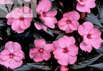 New Guinea Impatiens flowers, 'Kallima' variety.