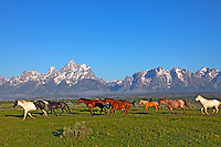 Running Horses, Grand Tetons, Grand Teton National Park