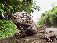 Green Iguana close up<br /> St. John<br /> U.S. Virgin Islands