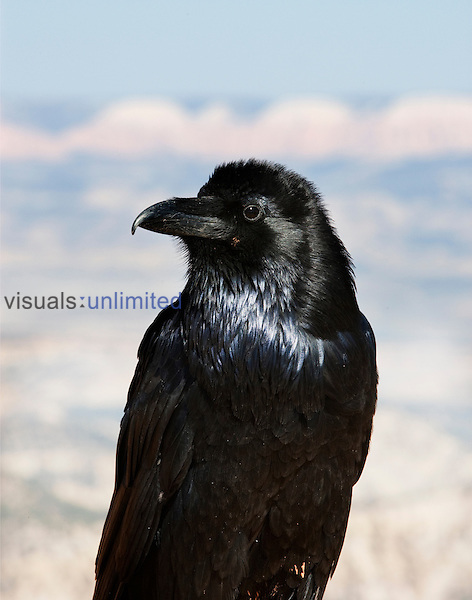 Common Raven head (Corvus corax), North America