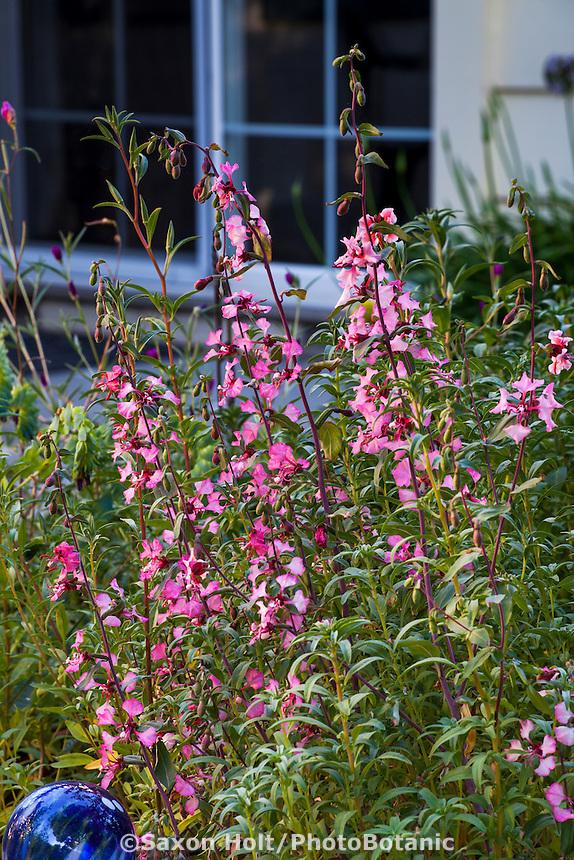 Clarkia unguiculata, Elegant clarkia annual native plant wildflower by patio in Sibley drought tolerant back yard garden, Richmond California
