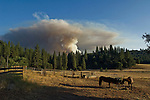 Greeley Hill, California - July 28, 2008- Wildfires Threaten Yosemite National Park . Horses on Jenkins Ranch off Bull Creek Road are oblivious to a smoke plume from Branch Three of the Telegraph Fire as it blows up late Monday afternoon.  This part of the fire is on the north side of the Merced River and is heading toward the community of Greeley Hill. .This images was an editorial release  through Getty Images..Photo by Al Golub/Getty Images