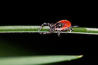 TICK<br /> Female Deer Tick<br /> An Ixodes Scapularis raises her forelegs when she detects a possible host nearby.