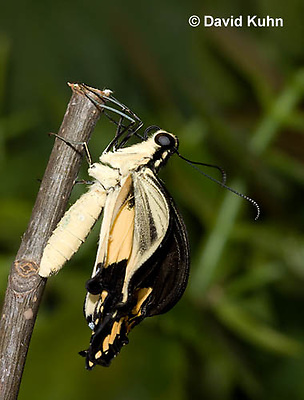 1020-0813  Giant Swallowtail Butterfly Recently Emerged from Chrysalis Drying Wings (Life Cycle Series), Papilio cresphontes © David Kuhn/Dwight Kuhn Photography.