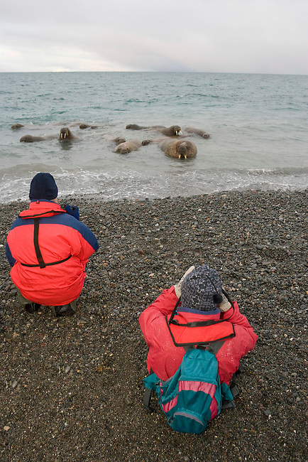 In late September visitors meet young walrus on the beach at Moffen Island. Svalbard
