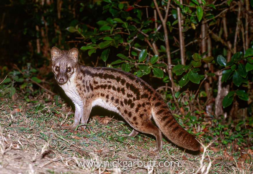 Spotted Fanaloka (Fossa fossana) (formerly Malagasy Civet) foraging on ...: nickgarbutt.photoshelter.com/image/I0000lqvKCc70FI0