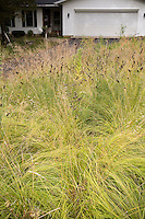 Wisconsin front yard meadow garden in autumn with prairie grasses, Sporobolus heterolepis (Prairie Dropseed) yellowish fall color, Dalea seedheads; design by Neil Diboll