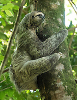 Three toed Sloth<br />