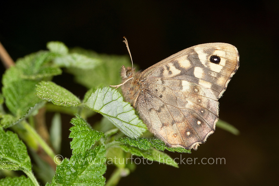 Wald-Brettspiel, Waldbrettspiel, Brettspiel, Laubfalter, Pararge aegeria, speckled wood