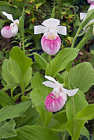 Orchids Cypripedium reginae growing in garden ground soil