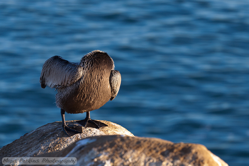 "This bird is starring in a remade of ""The Legend of Sleepy Hollow"", called ""The Legend of Sleepy La Jolla"".  Instead of the headless horseman, the movie features a headless pelican."